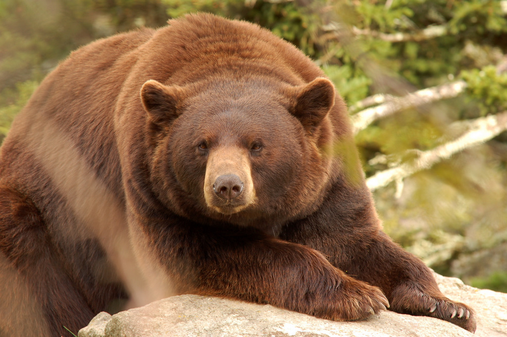 Why do bears have hairy coats?